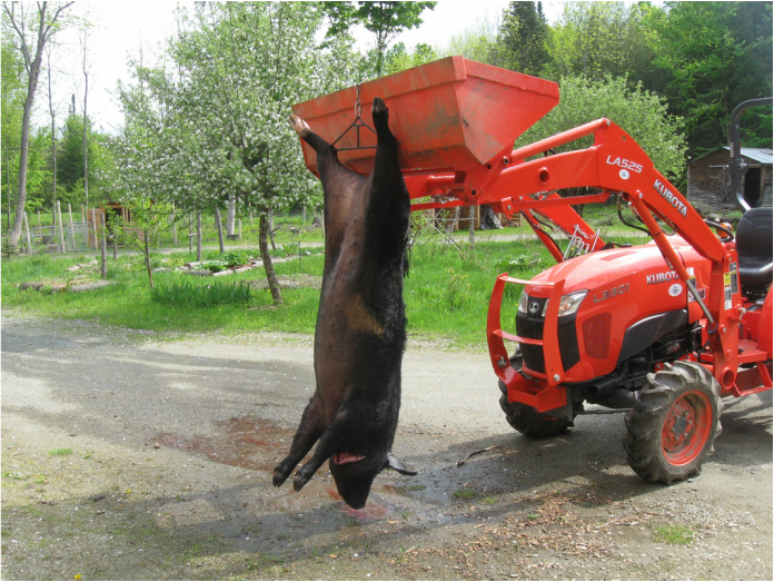 Pig Hanging from Tractor
