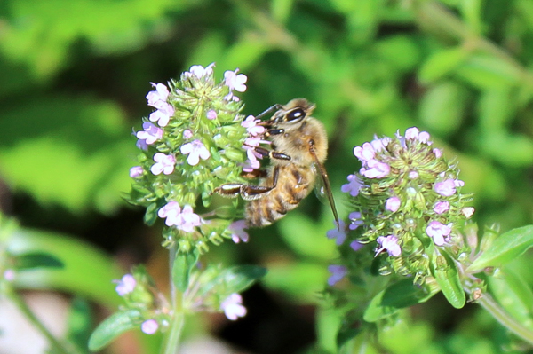A native bumblebee visiting oregano flowers.