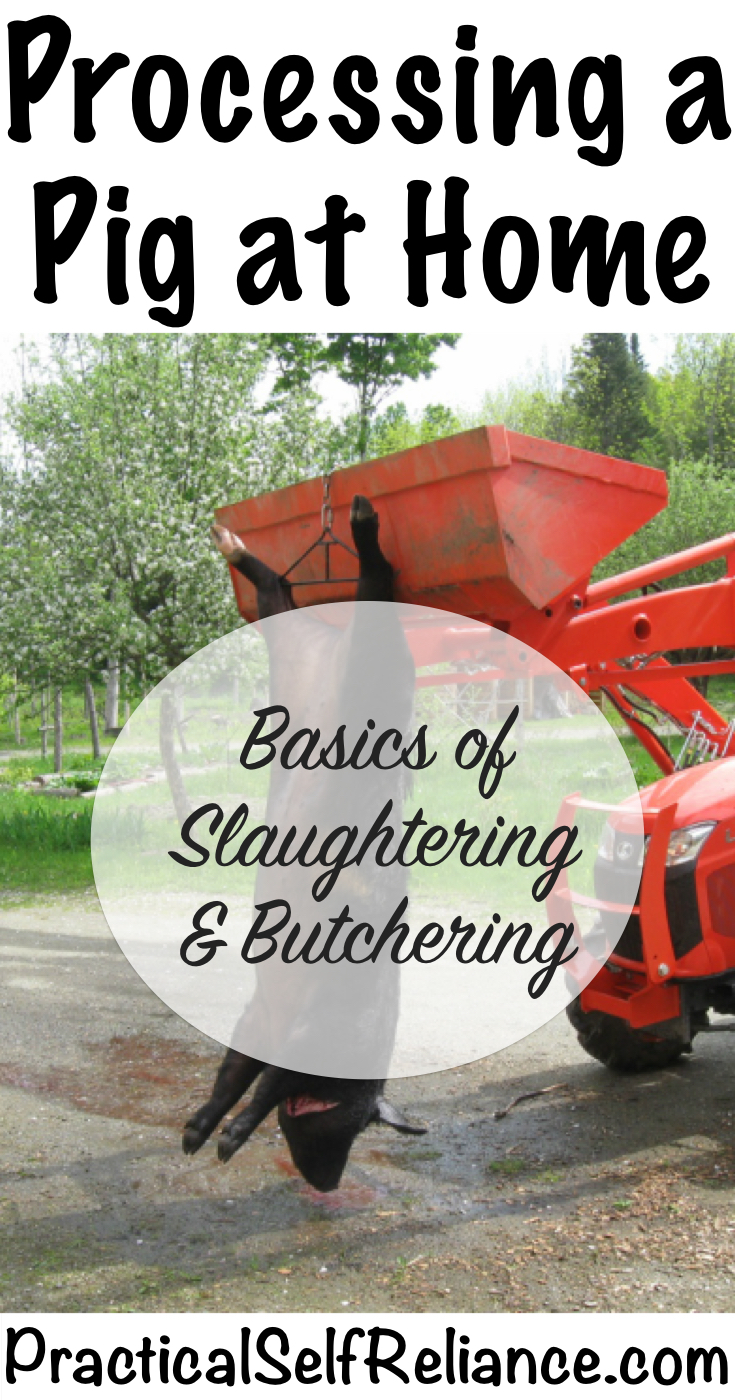 Processing a Pig at Home: Basics of Slaughtering and Butchering
