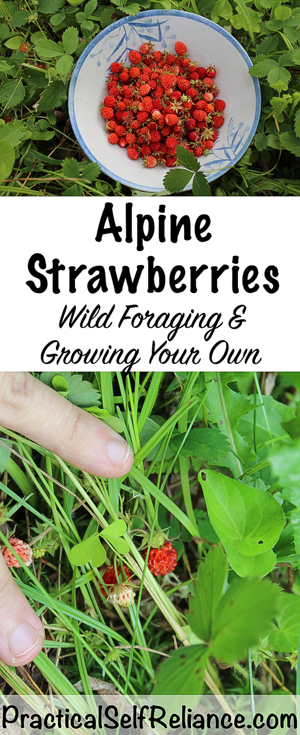 Alpine Strawberries: Wild Foraging and Growing Your Own #alpinestrawberries #foraging #wildfood #forage #selfsufficiency #wildcrafting #wildedibles #gardening #organicgardening #foodgardening #howtogrow #gardeningtips