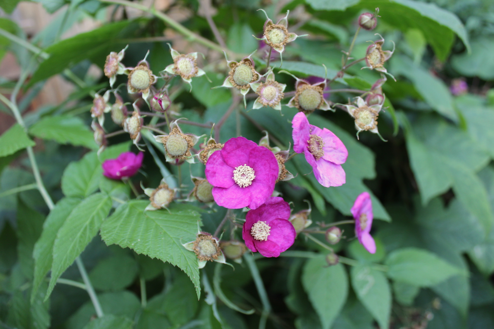 Thimbleberry flowers and fruit