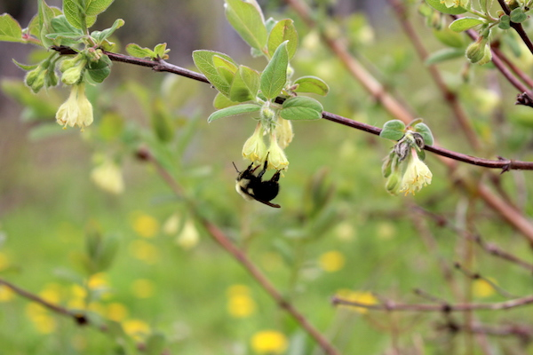 Native Bumble Bee Visiting honeyberry flowers in the early spring (haskap flowers)