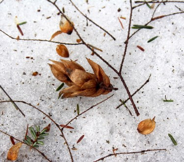 Winter Foraging in Cold Climates: 50+ Wild Foods in the Snow