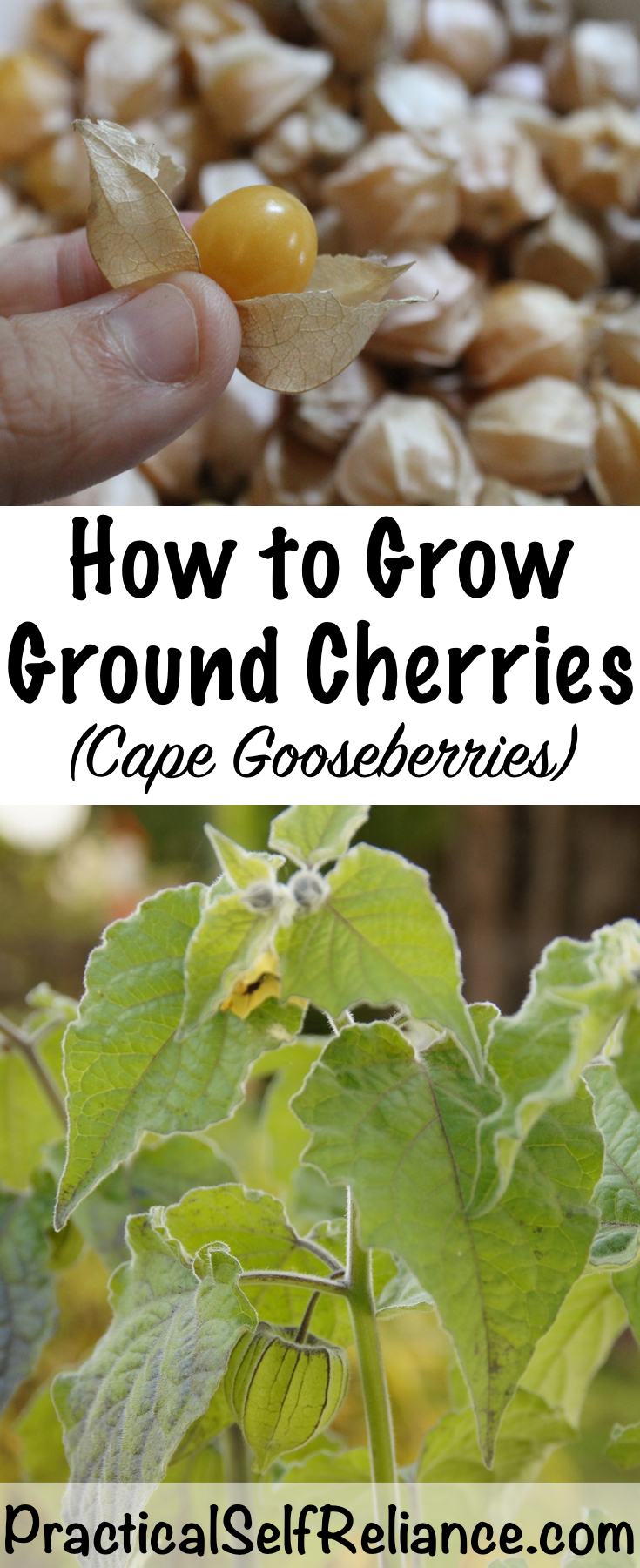 How to Grow Ground Cherries ~ Cape Gooseberries ~ Husk Cherries ~ Physalis sp. #groundcherries #groundcherry #gardening #organicgardening #foodgardening #howtogrow #vegetablegardening #gardeningtips #homesteading #homestead #selfreliant