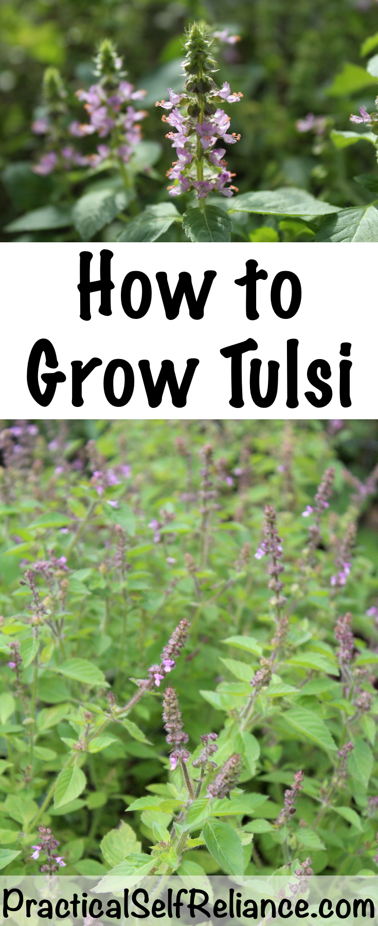 How to Grow Tulsi Indoors or Outside ~ Growing Holy Basil #tulsi #holybasil #howtogrow #herbgarden #herbalism #homesteading #herbs