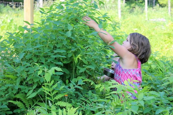 Children harvesting haskap berries (honeyberries)