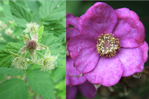 Raspberry Flower and Thimbleberry Flower