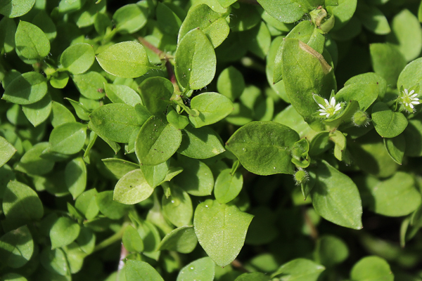 Chickweed Picture Closeup