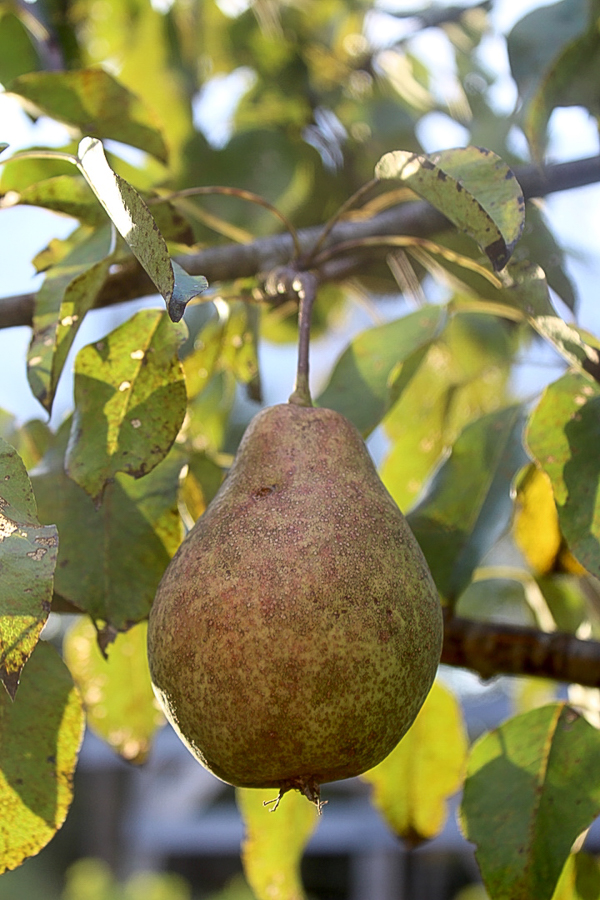 cabot pear