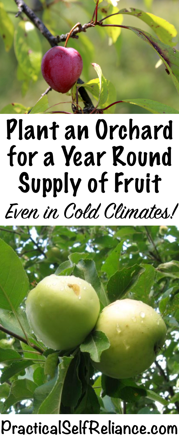 How to Plant an Orchard for a Year Round Supply of Fruit ~ Even in Cold Climates ~ Zone 4 Orchard #growingfruit #fruittrees #permaculture #howtogrow #orchard #homesteading #growingfood #trees #gardening #perennial #selfsufficiency #gardeningtips