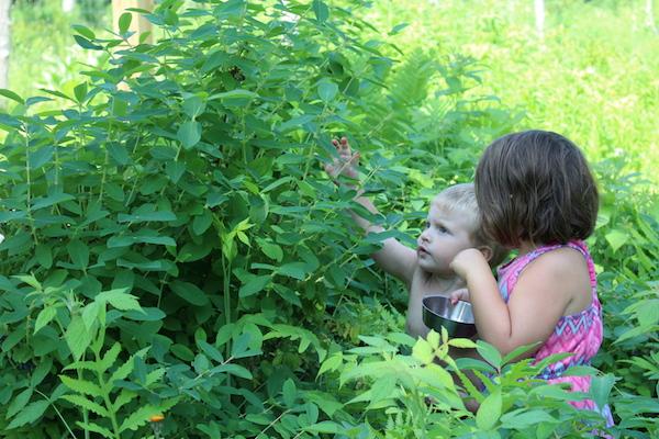 Two children harvesting honeyberries