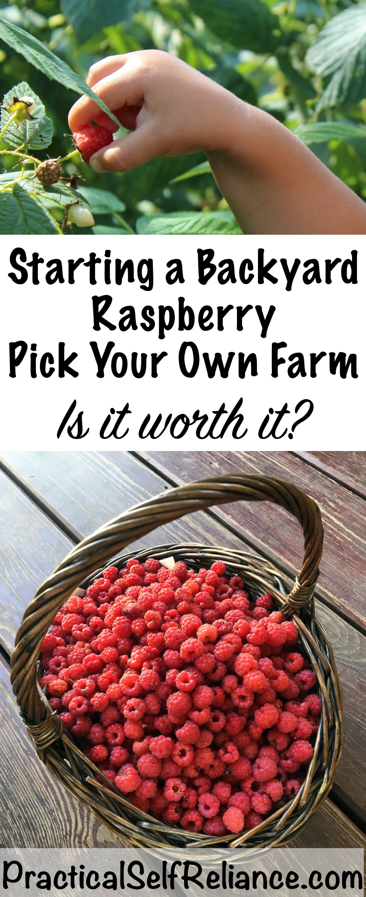 Starting a Backyard Raspberry Pick Your Own ~ Making Money From Your Back Yard