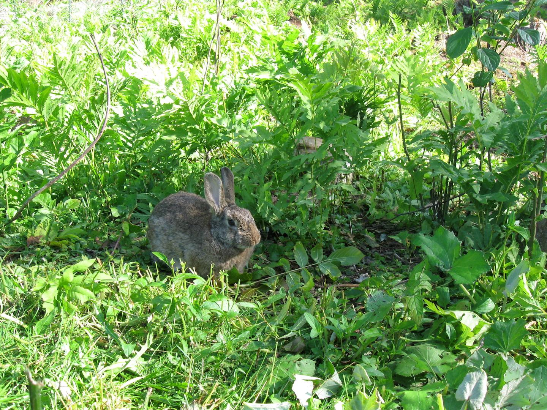 Rabbit on Pasture
