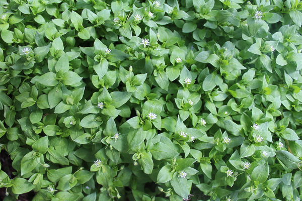 chickweed herb