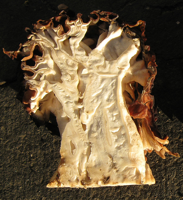 Gyromitra caroliniana (false morel)