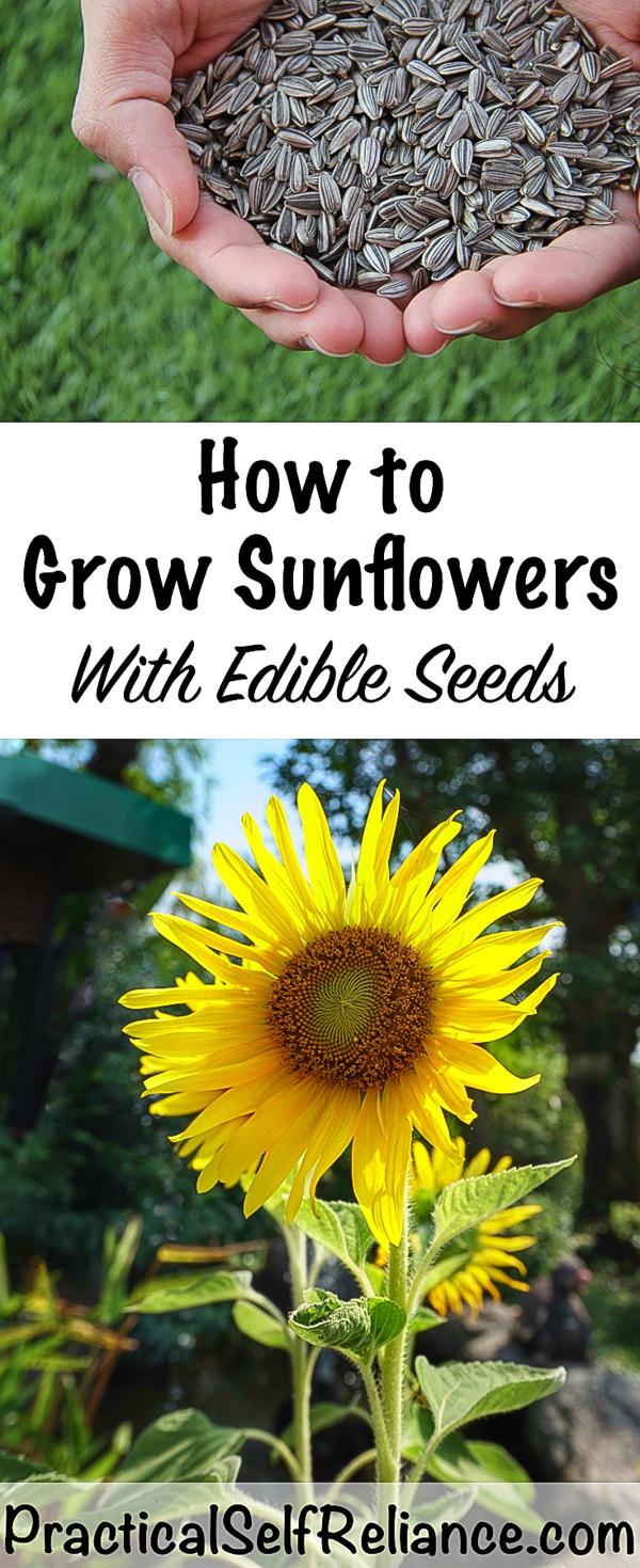 How to Grow Sunflowers for Seeds ~ Grow Edible Sunflower Seeds #sunflower #sunflowers #edibleflowers #sunflowerseeds #gardening #organicgardening #howtogrow #vegetablegardening #foodgardening #gardeningtips #homesteading #homestead #selfreliant