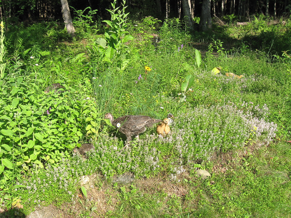 Free Range Chickens in Herbs