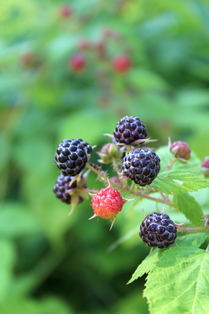 Ripe Black Raspberries