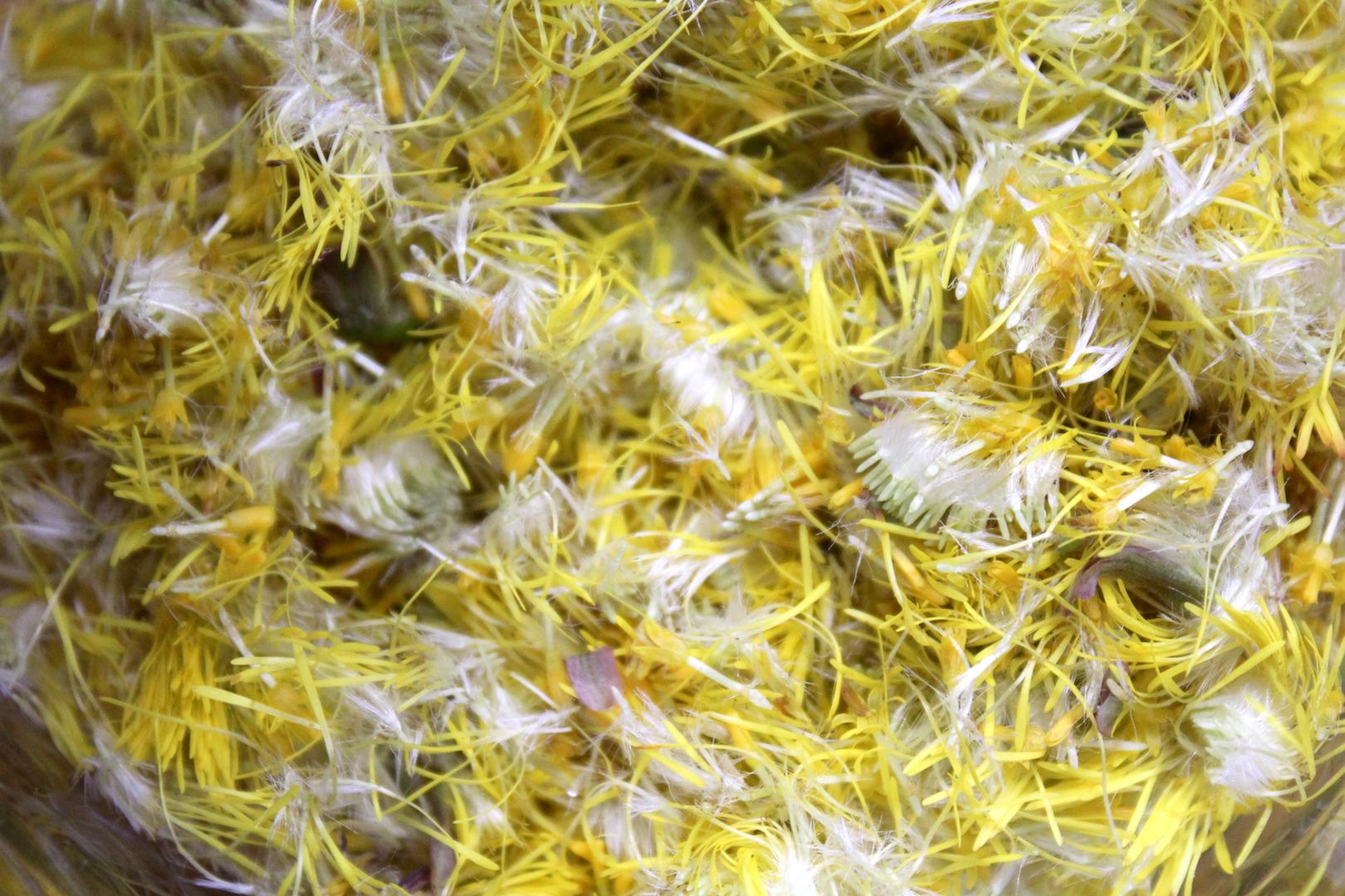 Coltsfoot Flower Petals