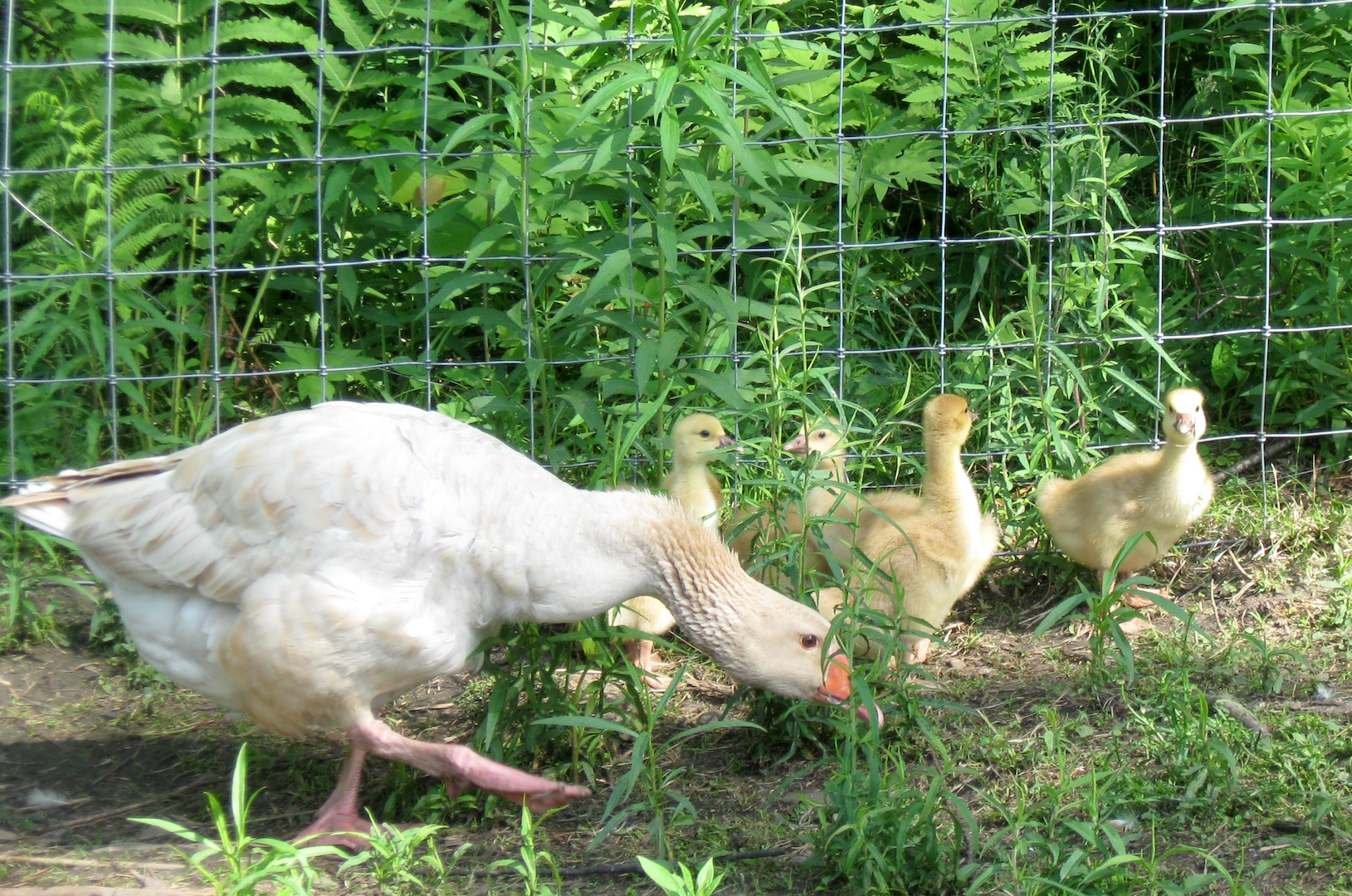 Silvopasture Geese