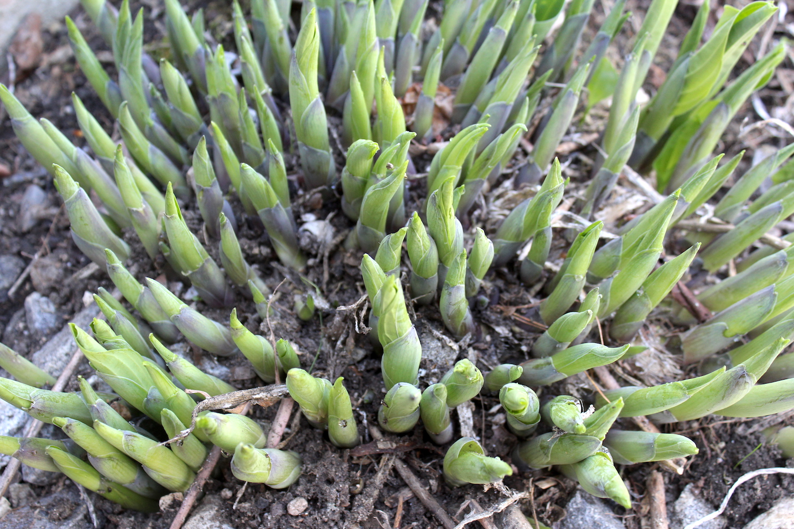 Hosta Shoots in Spring