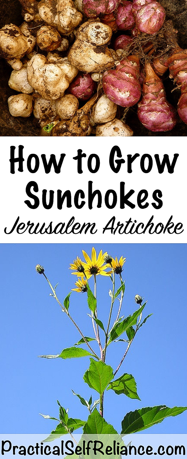 How to Grow Sunchokes ~ Jerusalem Artichoke #jerusalemartichoke #sunchoke #gardening #organicgardening #containergardening #howtogrow #vegetablegardening #gardeningtips #homesteading #homestead #selfreliant