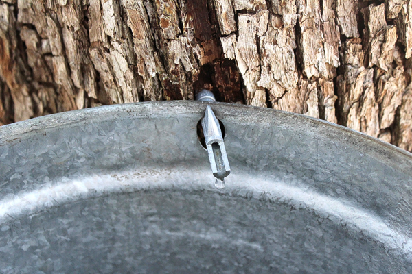 Ironwood sap starting to run.