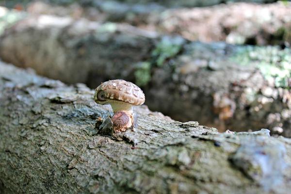 shiitake mushroom on log