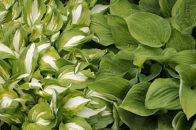 variegated hosta and green hosta side by side