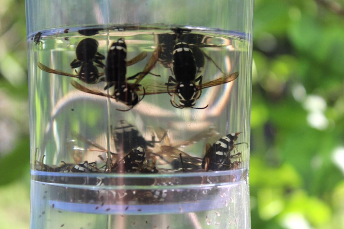 Best Wasp Traps