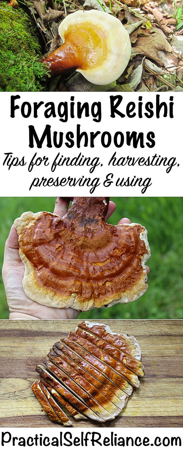 Foraging Reishi Mushrooms #medicinalmushrooms #reishi #foraging #forage #wildcrafting #herbalism #naturalremedies