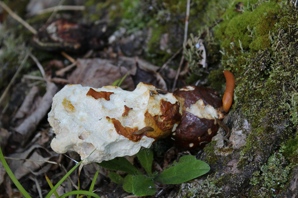 hemlock reishi eaten by slugs
