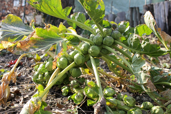 Growing Brussel Sprouts