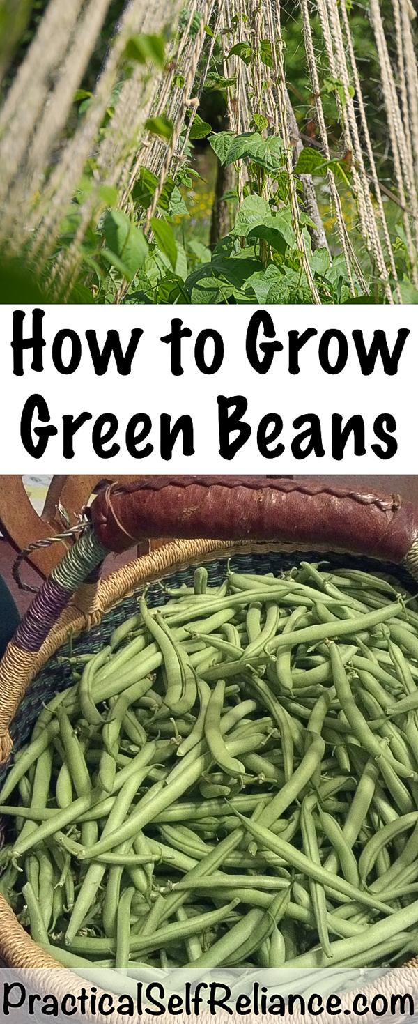 How to Grow Green Beans #greenbeans #howtogrowbeans #gardening #organicgardening #gardeningtips #homesteading