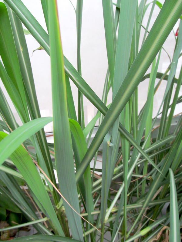 Lush leaves on a lemongrass plant growing indoors in a cold zone 4.