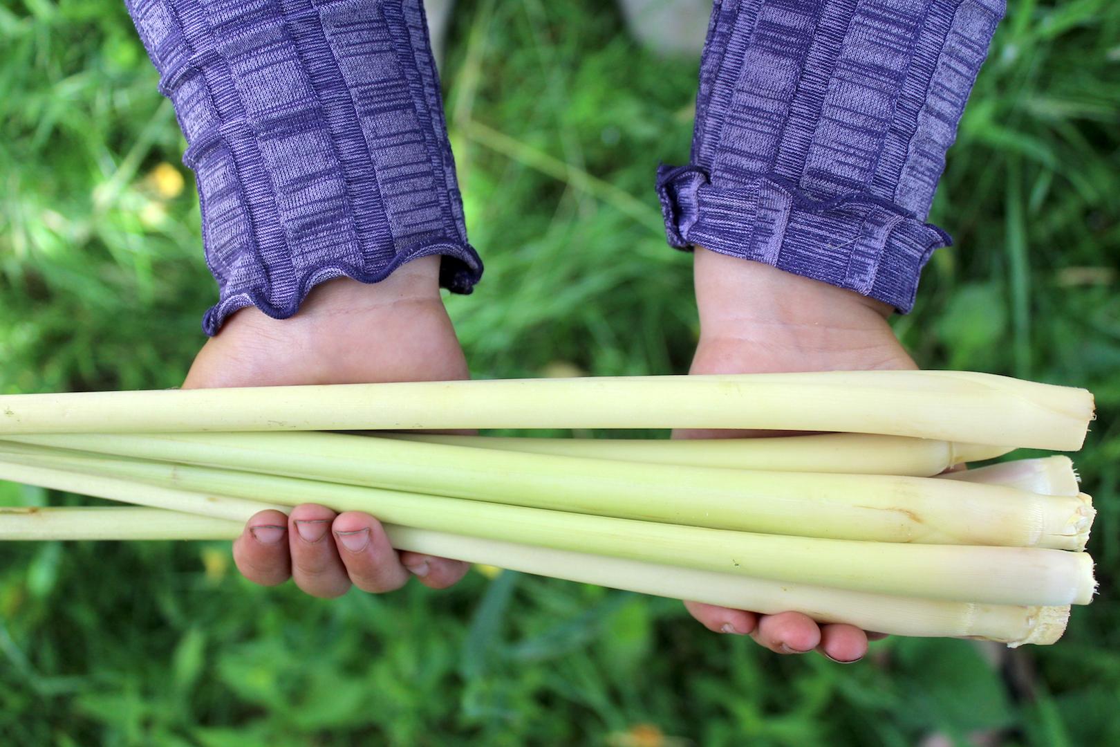 Harvesting Lemongrass