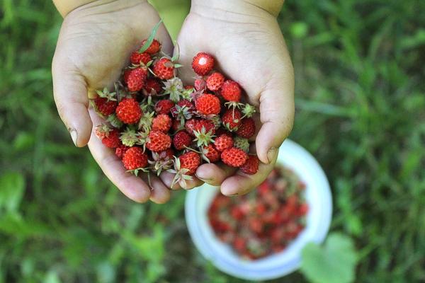 Harvesting Wild Strawberries