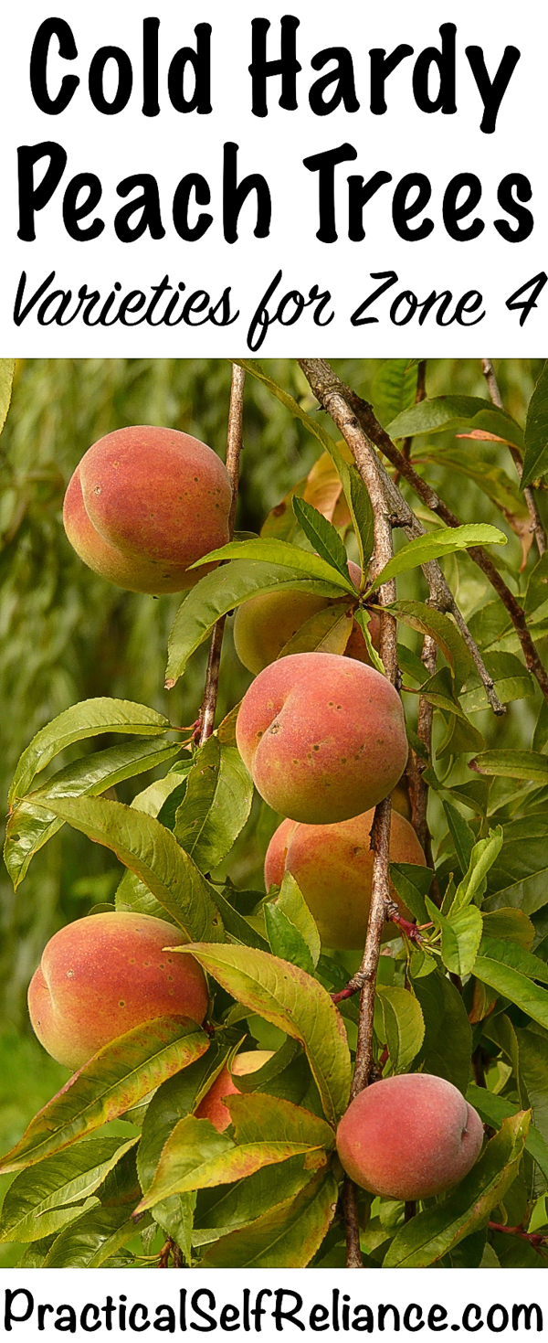 Cold Hardy Peach Tree Varieties for Zone 4 #peaches #trees #howtogrow #permaculture #homesteading #selfsufficiency #orchard