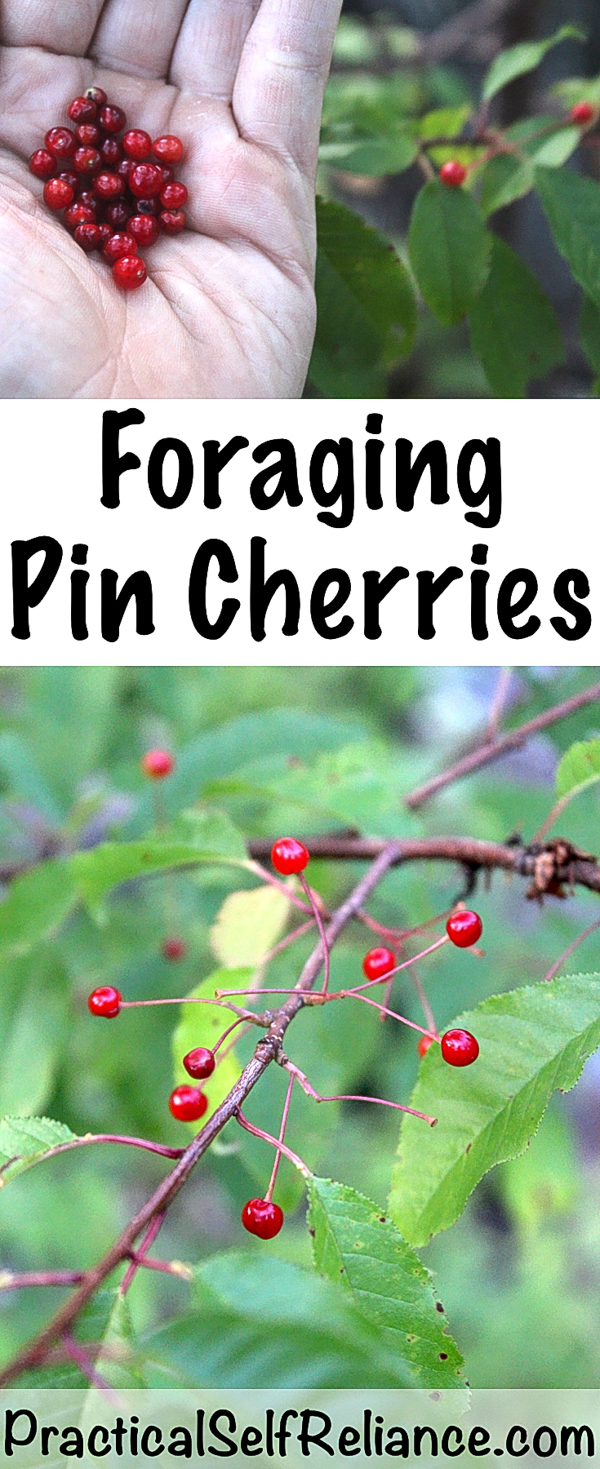 Foraging Pin Cherries ~ Wild Foraged Cherries #foraging #forage #wildfood #wildcrafting #cherries #berries #selfreliant #selfsufficiency #preparedness