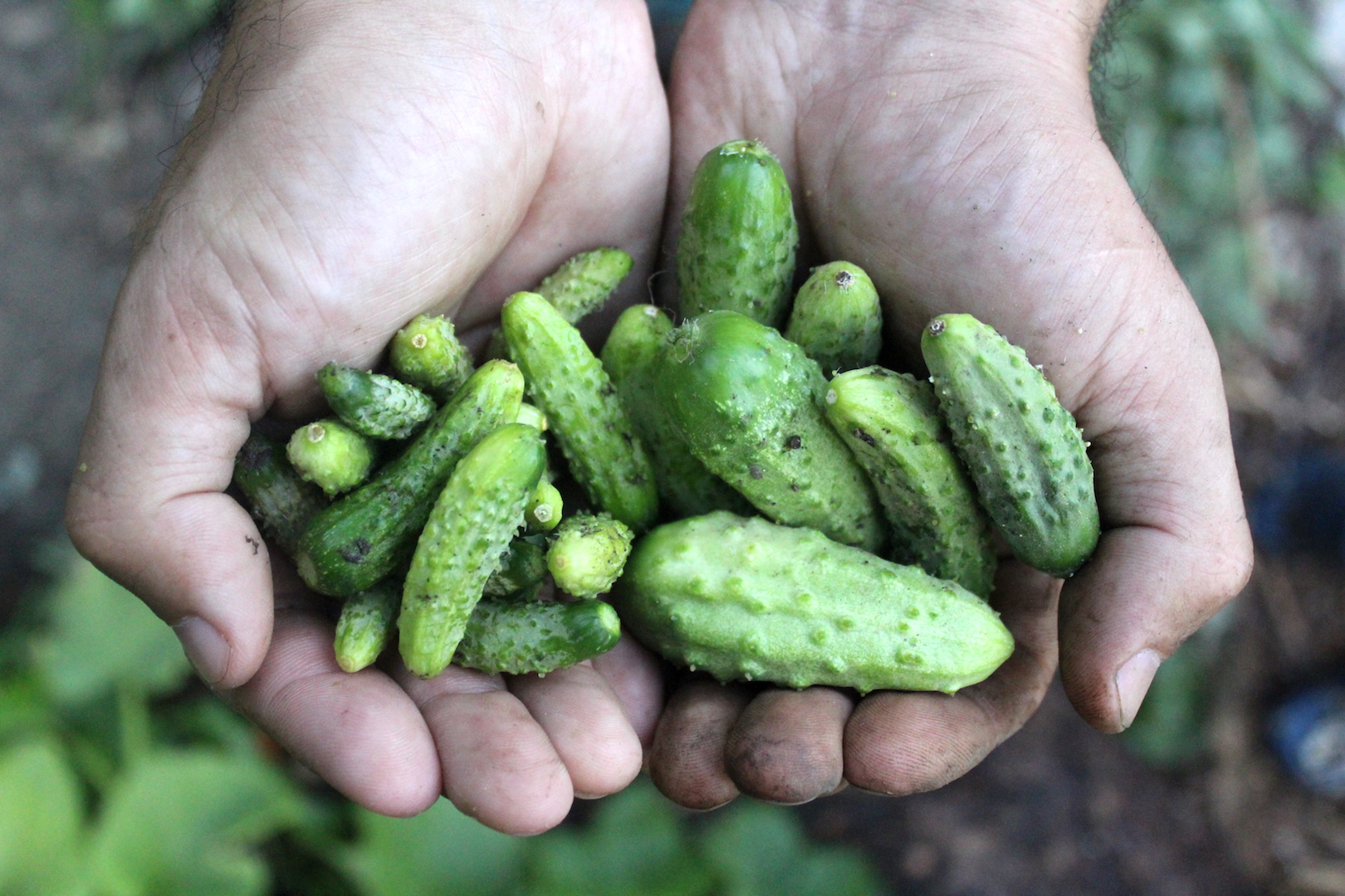 Harvesting Cucumbers for Gherkins