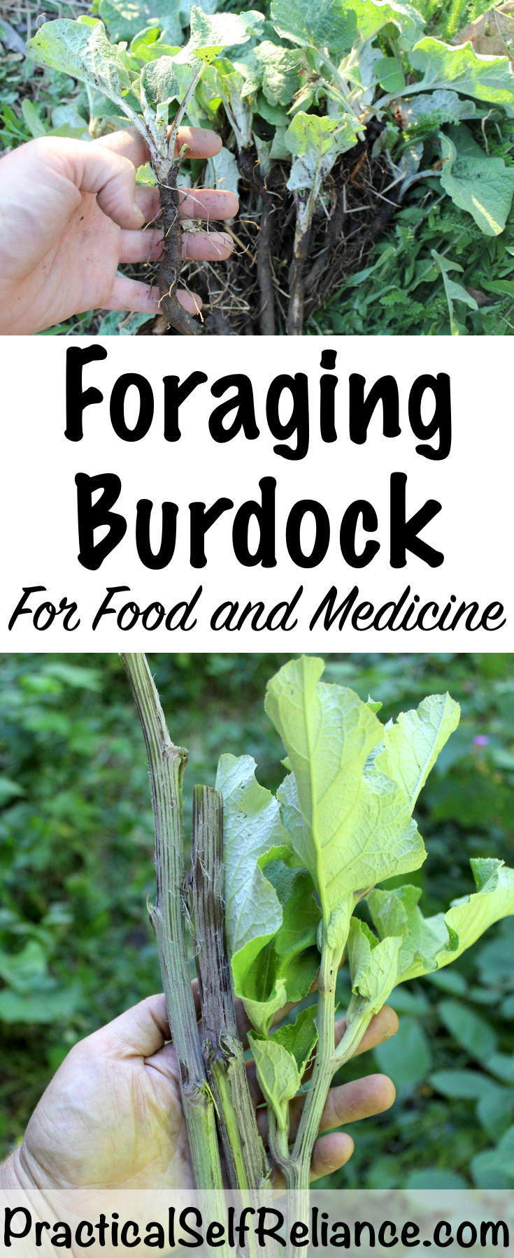 Foraging Burdock for Food and Medicine #foraging #foragedfood #wildcrafting #wildfood #burdock