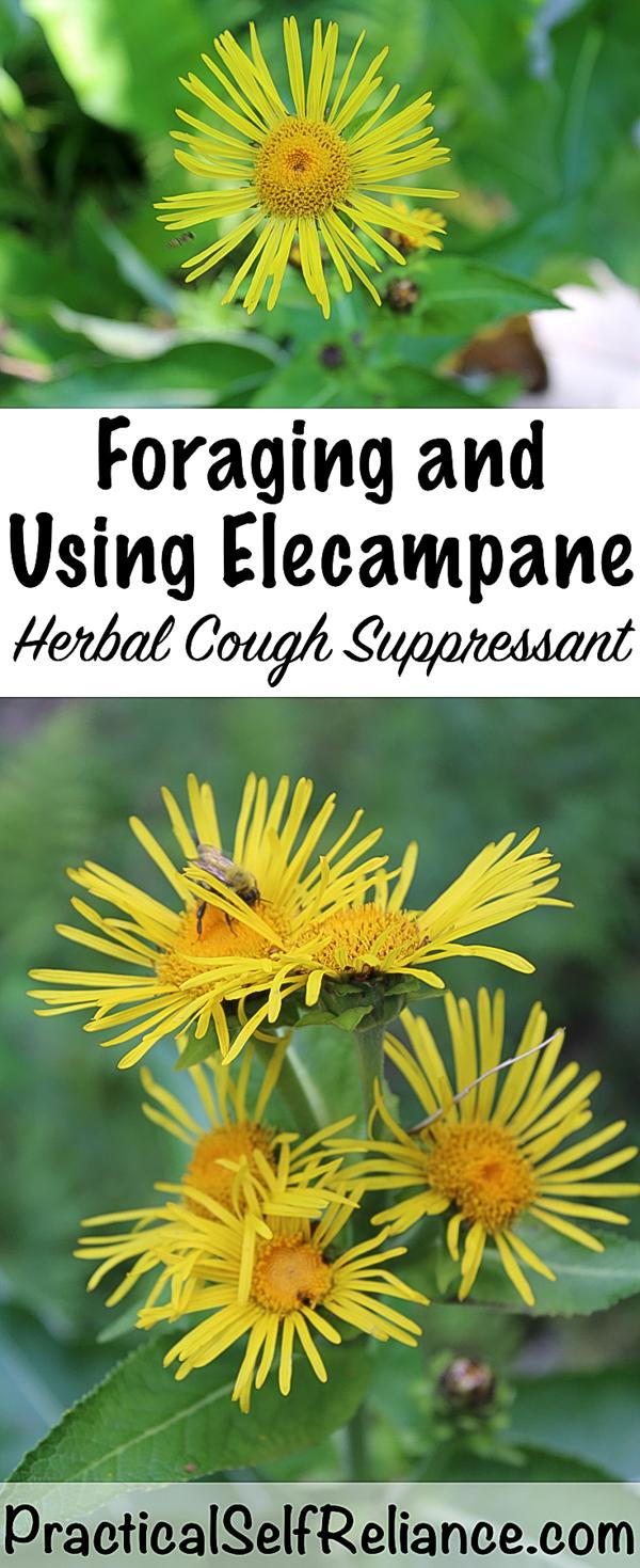 Foraging and Using Elecampane ~ Herbal Cough Medicine #elecampane #herbs #herbalmedicine #coldandflu #coughremedy #herbalism #herbalremediy #foraging #forage