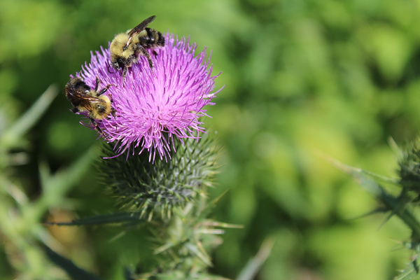 bees foraging thistle