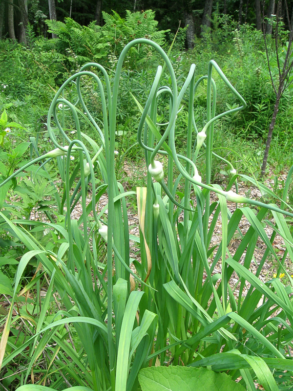 Scapes on Perennial Garlic