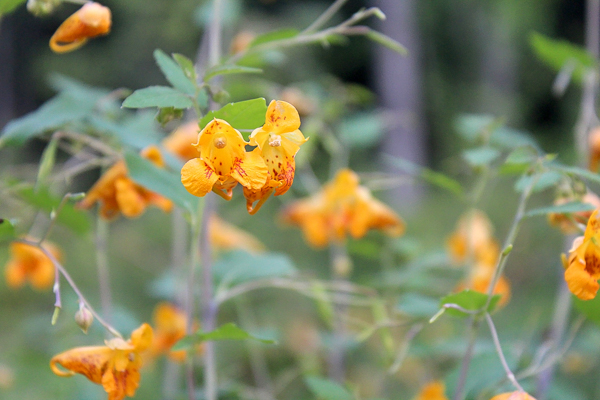 Jewelweed Flowers