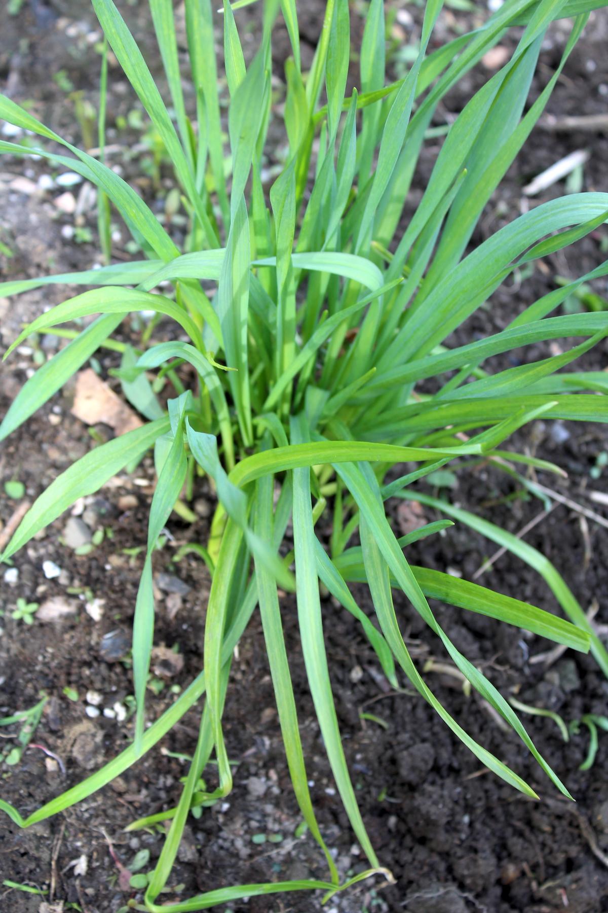 Three Year Old Garlic Cluster