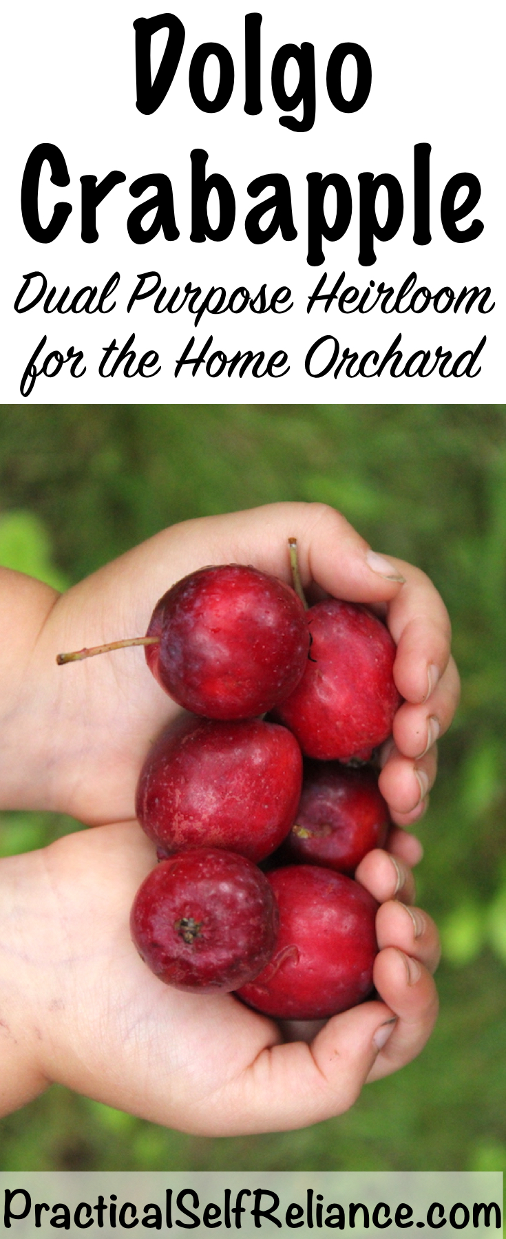Dolgo Crab Apple ~ A perfect pollinator with tasty fruit for your home orchard #crabapple #orchard #permaculture #homesteading #selfreliant #crabappletree