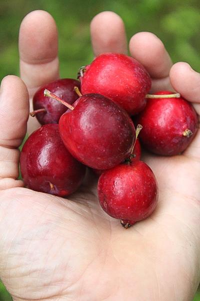 Dolgo Crab Apples in Hand