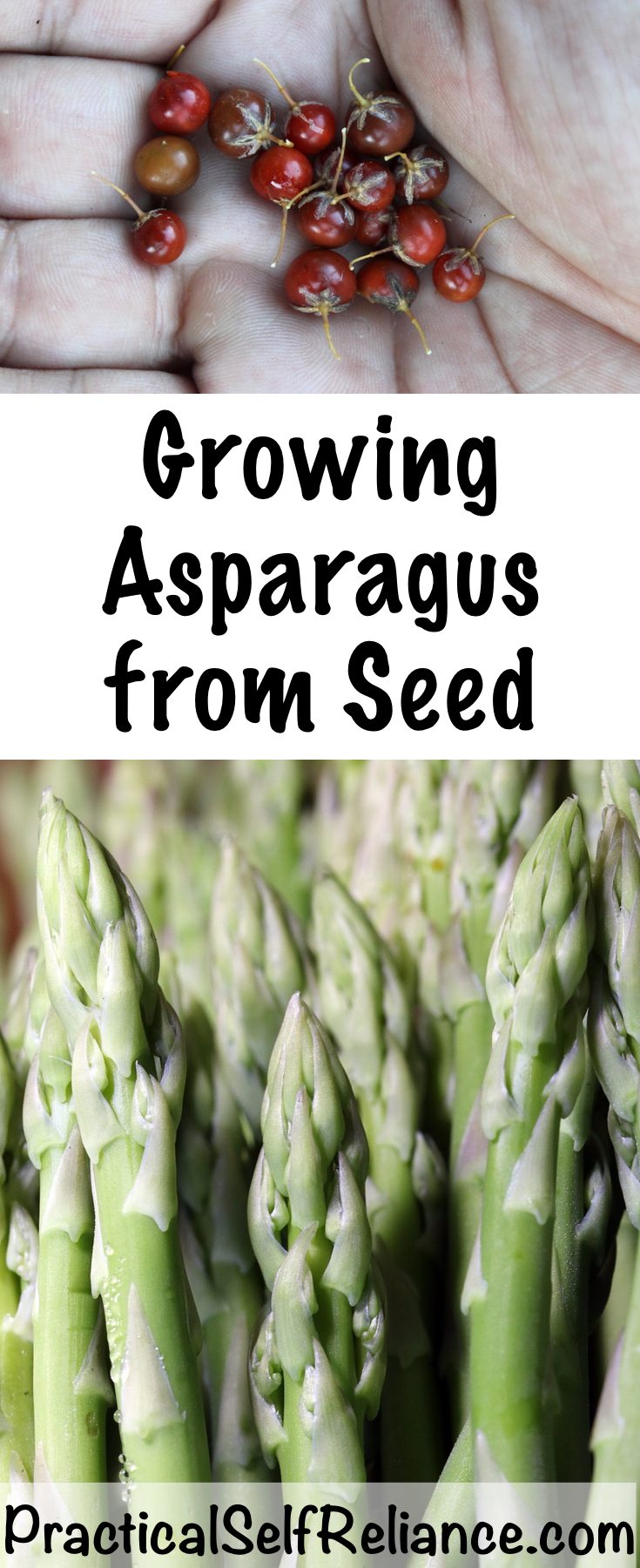 Growing Asparagus from Seed #asparagus #howtogrow #vegetablegardening #homesteading #selfreliant #growingasparagus #growingfood #foodgardening