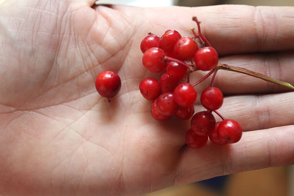 Highbush Cranberry Species Compared